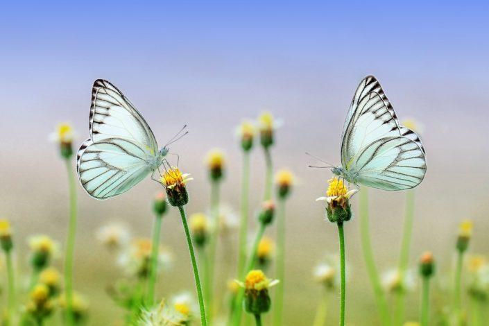 Vlinders Grou